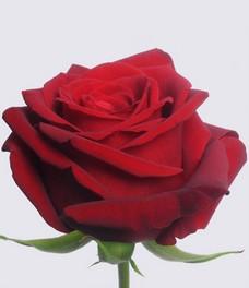 1 Роза R548
