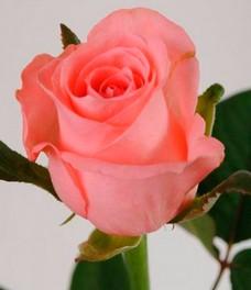 1 Роза R550
