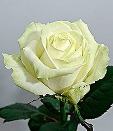 1 Роза R002