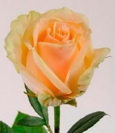 1 Роза R003