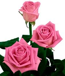 1 Роза R004