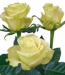 1 Роза R042