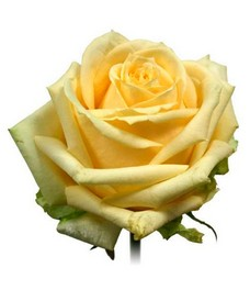 1 Роза R043