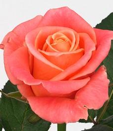 1 Роза R044
