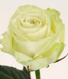 1 Роза R089