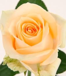 1 Роза R094