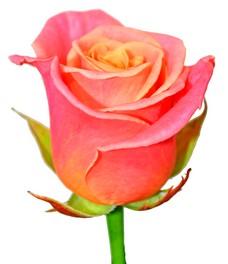 1 Роза R095