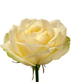 1 Роза R222