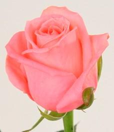 1 Роза R228