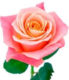 1 Роза R229