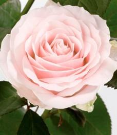 1 Роза R225