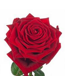 1 Роза R376