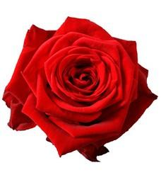 1 Роза R495