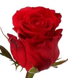 1 Роза R496