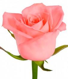 1 Роза R498