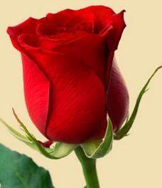 1 Роза R549