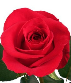 1 Роза R221