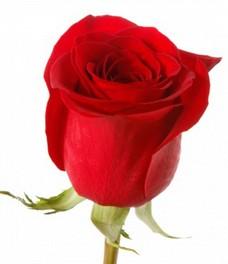 1 Роза R379