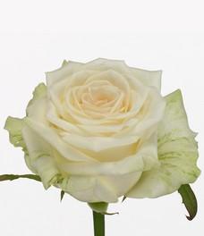 1 Роза R090