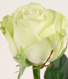 1 Роза R223