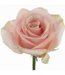 1 Роза R226